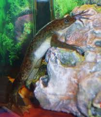 Should African Dwarf Frogs Shed by African Clawed Frog Xenopus Laevis Profile With Care
