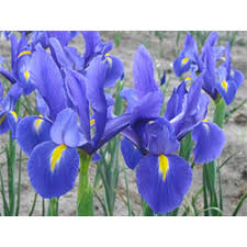 irises where to buy iris bulbs terra ceia farms