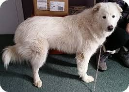 great pyrenees samoyed mix dog for adoption in woodstock ontario