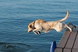Blue Heeler Lab Mix Shedding by Breed Comparison Labrador Retriever Vs Golden Retriever Rover Com