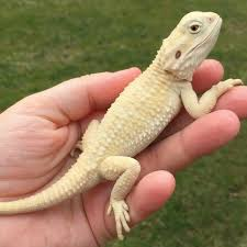 Crested Gecko Halloween Morph For Sale Uk by Pogona Henrylawsoni Reptiles Amphibians U0026 Vivariums Pinterest