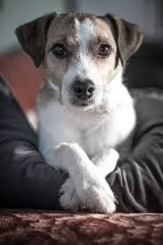 Dogs That Dont Shed Or Bark by Best 25 Terrier Dogs Ideas On Pinterest Terriers Terrier Dog