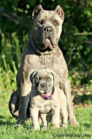 Cane Corso Italiano Shedding by 41 Best Cane Corso My New Must Have Images On Pinterest Cane