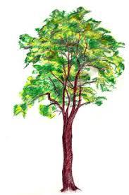 tree skecth color pencil
