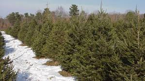 Fortunoff Christmas Trees 2013 by Mikes Christmas Tree Farm Credit Mikes Christmas Tree Farm Jpg
