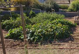 Southwest Autumns Feature Herbs and Ve able Transplants and