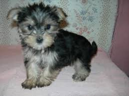 Morkies Do They Shed by 98 Best Maltese Images On Pinterest Maltese Puppies Baby