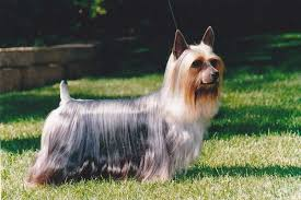 Small Non Shedding Dogs Australia by Lovely Small Dog Breeds Perfect For Allergic People