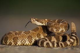 western diamondback rattlesnake information facts photos and