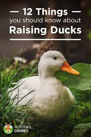 12 Things You Should Know About Raising Ducks 6 Easy Tips For Duck Brooding Success Community Chickens For Making Maximum Profits From Duck Farming Business You Have To Types Of Ducks Eggs Meat And Pest Control Countryside Network Best Breeds Pets Egg Production Hgtv Your Winter Coop Keeping In Cold Weather Coop 12 Things You Should Know About Raising Ducks Or Chickens Ten Reasons Choose 132 Best Images On Pinterest Backyard What Eat And How To Care Them
