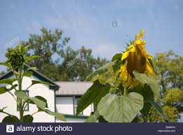 How To Grow A Sunflower House For Summer I Cant Wait For The
