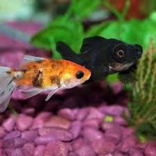 quels poissons pour un aquarium communautaire planèteanimal