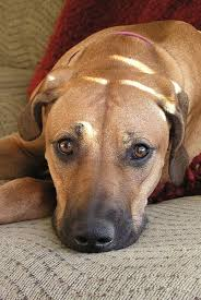 Do Rhodesian Ridgebacks Drool by 143 Best Rhodesian Ridgebacks Images On Pinterest Beautiful Dogs
