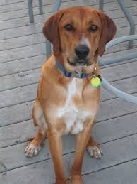 Rhodesian Ridgeback Shedding A Lot by Dog Lovers Blog Page 27 Of 39 Pet Paw