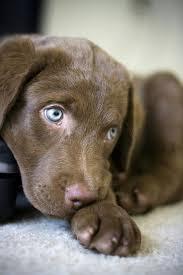 345 best labrador retrievers images on pinterest labrador