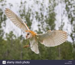 Rat Owl Stock Photos & Rat Owl Stock Images - Alamy Flying Eurasian Eagle Owl Colorfull Winter Stock Photo 304031924 Barn Facts Pictures Diet Breeding Habitat Behaviour Best 25 Owl Sounds Ideas On Pinterest Owls Beautiful Wowzers Blog Centre Gloucester Wikipedia 10 Fascating About Bckling Estate A Barn Owls Home National Trust Birds Of Prey Shavers Creek Raptor Center Kohrphotos The Barn Owl Wallpapersbirds Unique Nature Hd Wallpapers