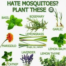 Plants For A Mosquito Free Yard | Yard Stuff | Pinterest | Yards ... 15 Backyard Tiki Torches Torches Citronella Oil And How To Get Rid Of Mosquitoes Mosquito Magnet The Best Ways To Of Naturally Beat The Bite Backyard Mosquitoes Research 6 Plants Keep Bugs Away Living Spaces Creepy 10 Herbs That Repel Bug Zapper Plant Lemongrass As A Natural Way Keep Away Pure 29 Best Images On Pinterest Weird Yet Effective Pest Hacks Thermacell Repellent Patio Lanternmr9w Home Depot 7 Easy Mquitos Dc Squad