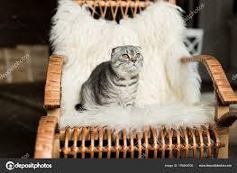 Cat On Rocking Chair — Stock Photo © IgorVetushko #159264502