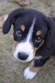 Large Sized Dogs That Dont Shed by Entlebucher Mountain Dog Temperament Bing Images Puppies