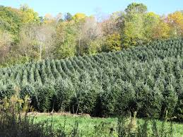 Fraser Fir Christmas Trees by Select The Perfect Christmas Tree What Grows There Hugh