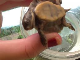 Turtle Shell Not Shedding by Shedding And Soft Shell Australian Freshwater Turtles