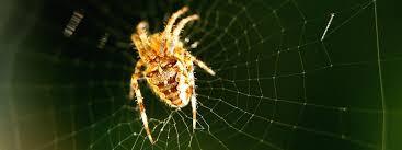 une araignée mâle fabrique des ceintures de chasteté pour sa femelle
