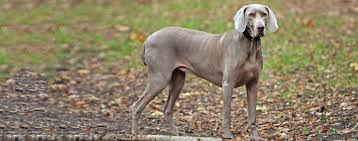 Do Long Haired Weimaraners Shed by Weimaraner Dog Breed Health History Appearance Temperament