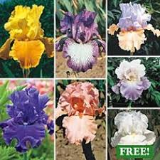 buy reblooming german iris mixture at michigan bulb yard