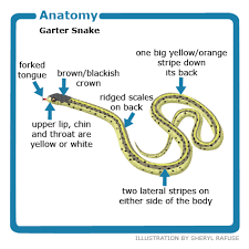 Physiology Common Garter Snakes
