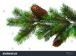 Silvertip Christmas Tree by Branch Christmas Tree On White Stock Photo 21312481 Shutterstock