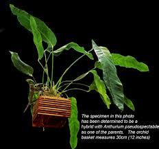 anthurium anthurium species how to grow an anthurium anthurium