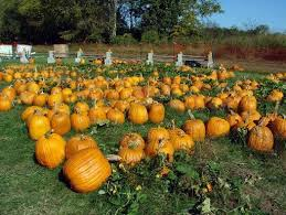 Pumpkin Patch San Jose 2015 by 29 Best Ideas For Pumpkin Patch Images On Pinterest Corn Maze