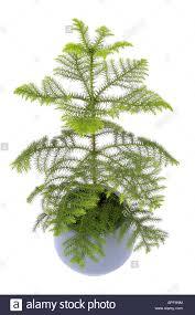 Potted Christmas Tree by Norfolk Island Pine Araucaria Heterophylla Araucaria Excelsa