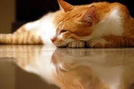 fatty liver cats tlc for your animal s liver animal wellness magazine