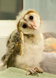 Barn Owl | Focus On Conservation Barn Owl Focus On Cservation Best 25 Baby Ideas On Pinterest Beautiful Owls Barn Steal The Show As Day Turns To Night At Heartwood Family Ties Owl Chicks Let Their Hungry Siblings Eat First The Perch Uncommon Banchi Baby Coastal Home Giftware From Horizon Stock Image Image Of Small Young Looking 3249391 You Know Birdnote Banding By Alex Lamoreaux Nemesis Bird
