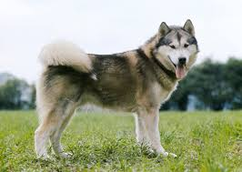 do huskies or malamutes shed more 10 dogs that shed the most