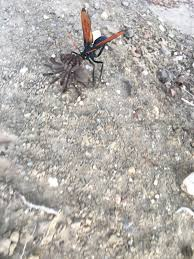 This Tarantula Hawk Carrying Off A Tarantula. Spotted Crossing The ... Does Anyone Else Like Cars Tarantula Forum The Setup That All The Tech Obssed Nerds Are Using Shark Wheels High Quality Rc Quadcopter Upper Body Cover Shell Accessory Yizhan Pin By Chris On Trucks Pinterest Rigs Peterbilt Indiana Man Warns Locals To Beware Of Giant Spiders After Spotting Dead Thejournalie Victor Ehart Youtube Kids Tour Mexican Stock Photos Images Alamy Wall Vinyl Decal Sticker Animals Insect Spider Art Deepfried Tarantula Allegations Deliciousness