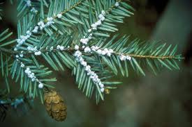 Most Common Christmas Tree Types by An Index Of Common Tree Insect Pests