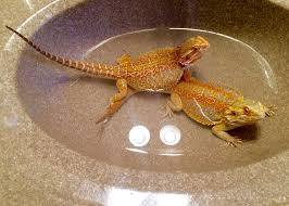 Bearded Dragon Shedding Process by Cleaning Tips Dragon Rancher