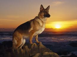 Do Shiba Dogs Shed by Whats A Cooler Dog The Shiba Inu Or The Pug Page 6 Neogaf