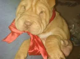 Do Mini Shar Peis Shed by Shar Pei Dog Breed Information Buying Advice Photos And Facts