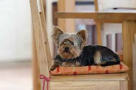 do yorkies shed why your non shedding dog is losing so much hair