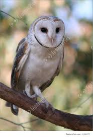Picture Of Australian Barn Owl Barn Owl Close Up Youtube Birds Of North America Online Bisham Group Biology Owlingcom Best 25 Owls Ideas On Pinterest Beautiful Owl Owls And Wikipedia Audubon Field Guide Familiar Emilysculpts Found To Suffer No Hearing Loss As They Age New Zealand Chicks Stock Photos Images Alamy