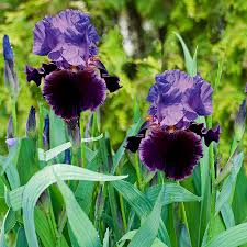 shop bearded iris bulbs l24233 at lowes