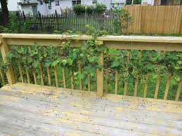Sick Grape Vine - Grapes Get Brown, Shrink And Die - Ask An Expert Small Plot Intensive Gardening Tomahawk Permaculture Backyard Vineyard Winery Grapes In Your Own Backyard Lifestyle Bucks County Courier More About The Regent Winegrape Growing Your Grimms Gardens Trellis With In The Yard At Home How To Grow Grapes Steemit Seedless Stark Bros Grape Orchards Pinterest Orchards Seattle Wa Youtube Grown Grape Vine And Trellis Stock Photo Royalty First Years Goal