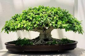 pot bonsai grande taille bonsai ficus ginseng retusa benjamina bonsai entretien