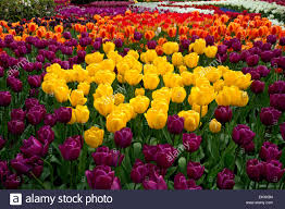 washington tulips blooming in a demonstration garden at stock