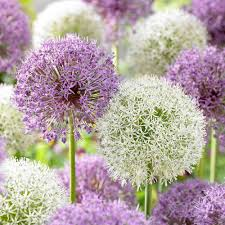 allium bulbs for sale buy flower bulbs in bulk save
