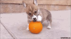 Using Pumpkin For Dog Constipation by Pumpkin And Your Pet What Are The Benefits