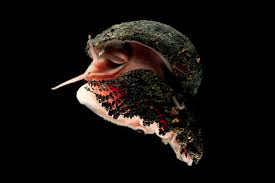 Halloween Hermit Crab Lifespan by Absurd Creature Of The Week The Badass Snail That Has A Shell